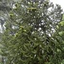 Désespoir des singes araucana