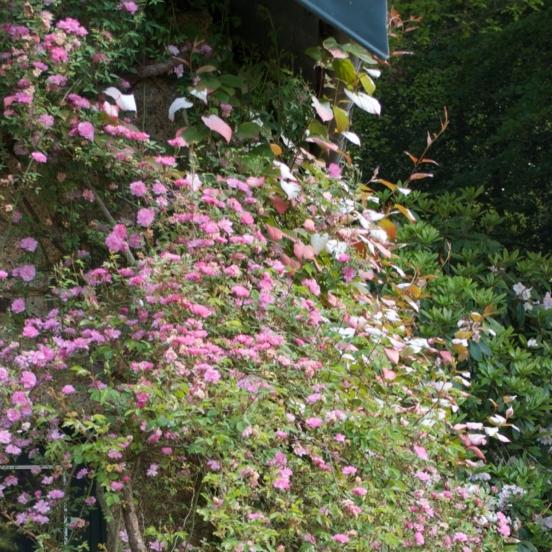 Rosier liane liane Rose