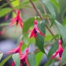 Fuchsia X Hatschbachii