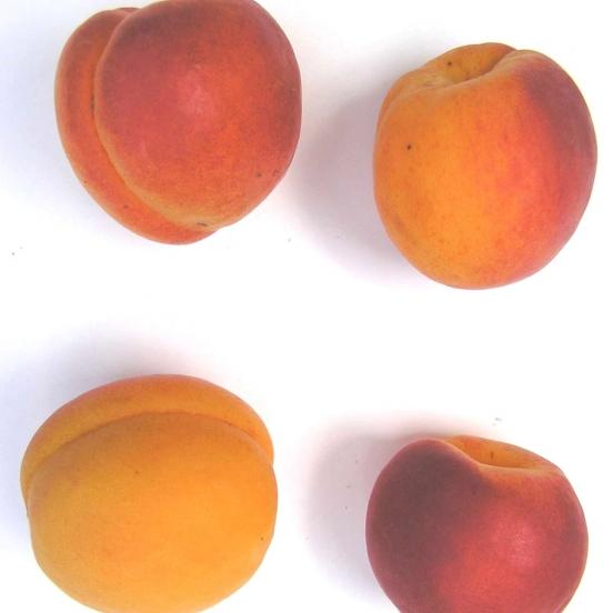 Abricotier armeniaca Polonais