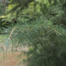 Cèdre de l'Himalaya deodara Pendula