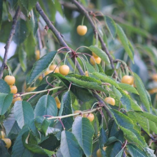 Cerisier cerassus Starkgold