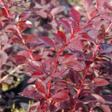 Epine-vinette x ottawensis Auricoma