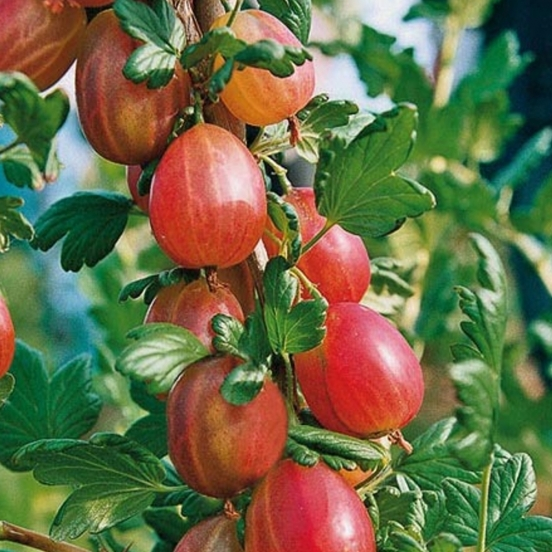 Groseillier à maquereaux uva-crispa Xenia® 'Rafzuera'