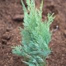Cyprès de Lawson lawsoniana Pembury Blue