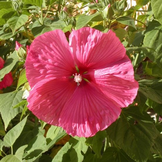 Hibiscus des marais moscheutos Rouge