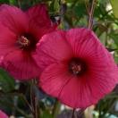 Hibiscus moscheutos Planet® Soléne 'Tansol'