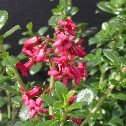 Escallonia compacta