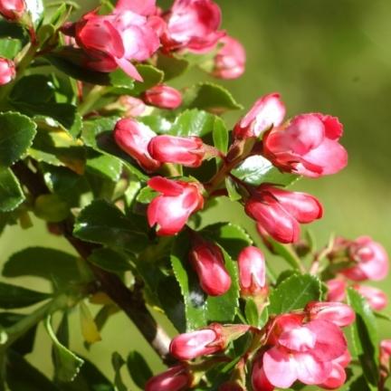 Escallonia virgata Pride of Donard