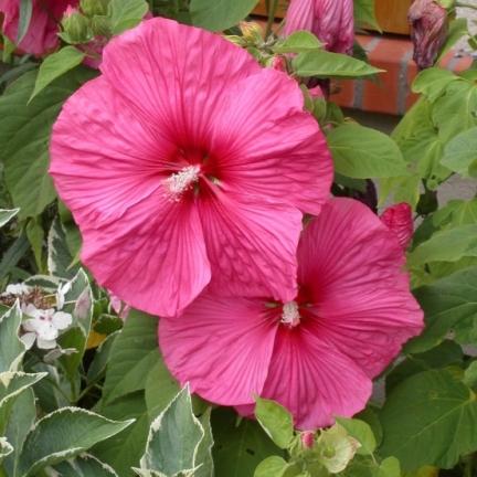 Hibiscus des marais moscheutos Rose Vif