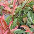Photinia x fraseri Pink Marbre® Casini