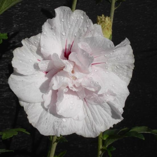 Hibiscus syriacus Eruption® 'Mineru'
