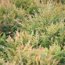 Thuya du Canada occidentalis Danica