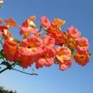 Bignone grandiflora