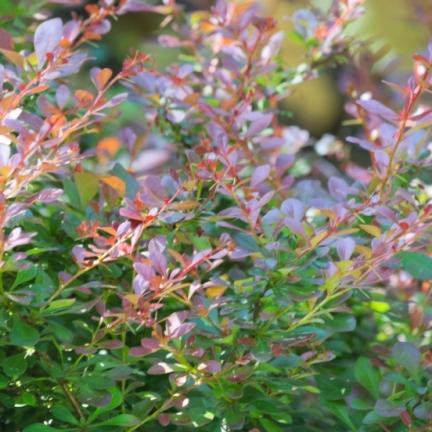 Epine-vinette thunbergii Atropurpurea Nana