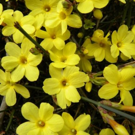 Jasmin d'hiver nudiflorum