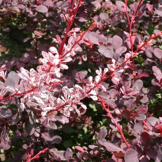 Epine-vinette thunbergii Rosy Glow