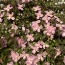 Clématite montana Tetrarose