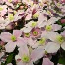 Clématite montana Pink Perfection