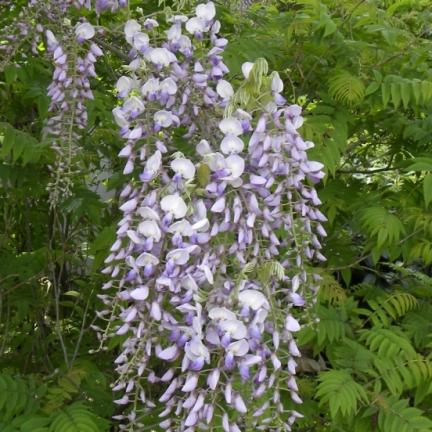 Glycine du Japon floribunda