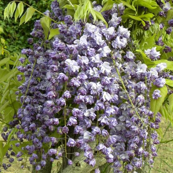 Glycine du Japon floribunda Violacea Plena