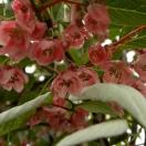 Kiwi pilosula
