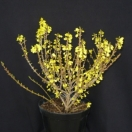 Forsythia de Paris x intermedia Melée d'Or® 'Courtaneur'