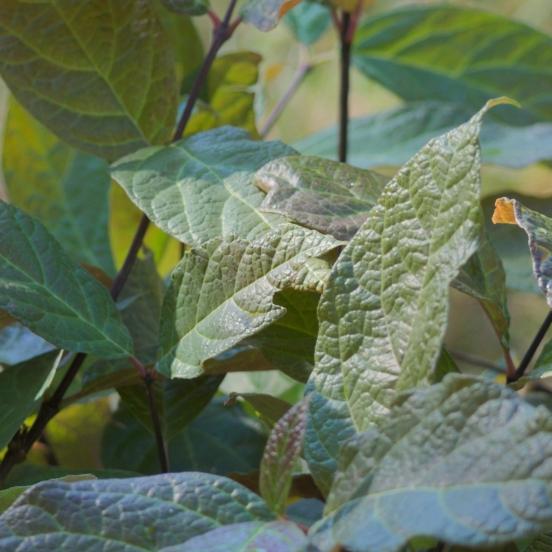 Arbre aux anémones floridus