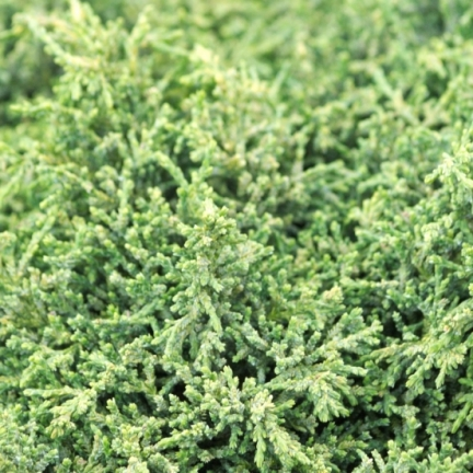 Cyprès de Lawson lawsoniana Forsteckensis