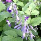 Clématite heracleifolia