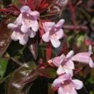 Abélie à grandes fleurs grandiflora Edouard Goucher