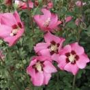 Hibiscus syriacus Pink Giant® 'Flogi'