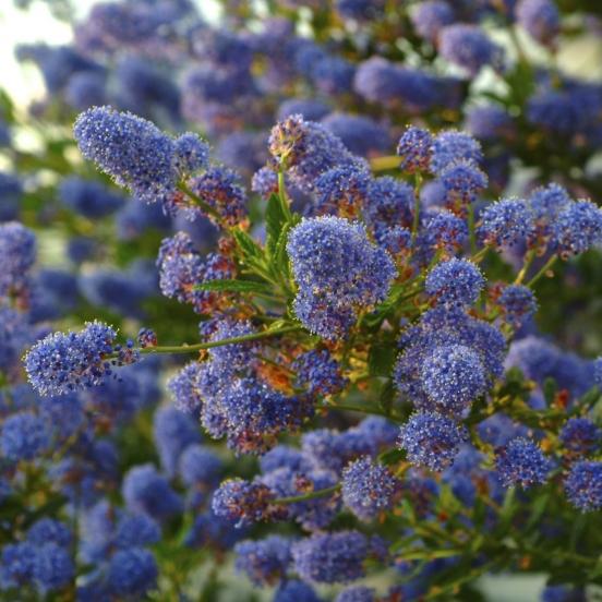 Ceanothe thyrsiflorus Autumnal blue