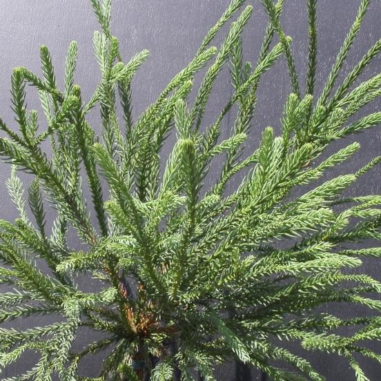 Cèdre du Japon japonica Araucarioides