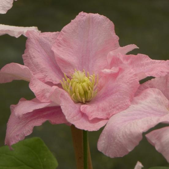 Clématite  Pink Célebration