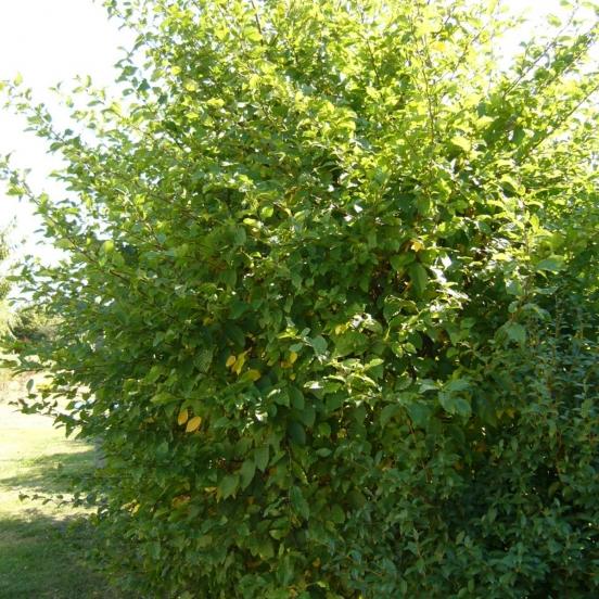 Charme betulus