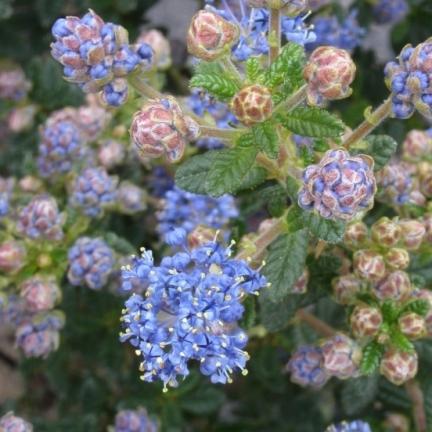 Ceanothe impressus Puget Blue
