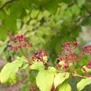 Viorne de Chine plicatum Summer Snowflake