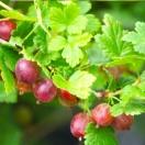 Groseillier à maquereaux uva-crispa Worcesterberry