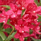 Weigela x Red prince