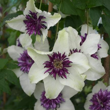 Clématite florida Bicolor