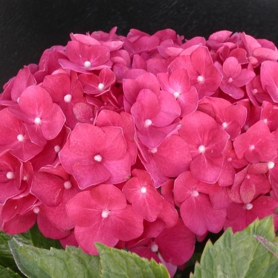 Hortensia macrophylla Leuchtfeuer