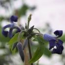 Clématite heracleifolia Eclipse