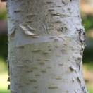 Bouleau verrucosa Tristis