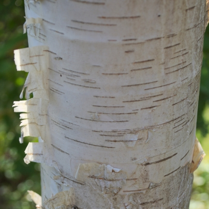 Bouleau verrucosa Fastigiata