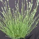 Lavande angustifolia Edelweiss
