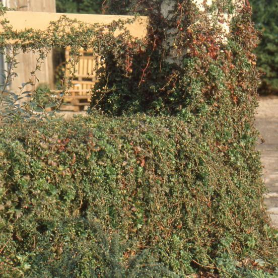 Vigne Vierge tricuspidata Lowii
