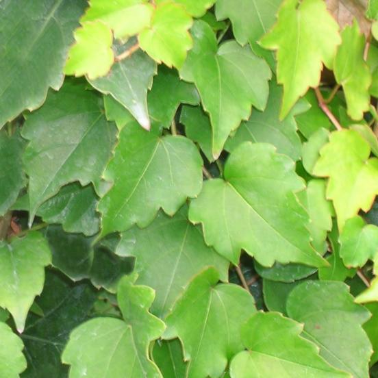 Vigne Vierge tricuspidata Minutifolia