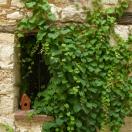 Vigne Vierge veitchii