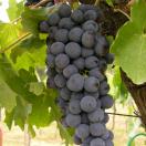 Vigne vinifera Cardinal